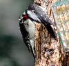 Feed Me... Feed Me! -- Downy Woodpeckers (Picoides pubescens);  Santa Fe National Forest, NM, Thompson Ridge [Lou Feltz] (deserttoad) Tags: wildlife nature newmexico mountain forest nationalforest bird wildbird woodpecker behavior