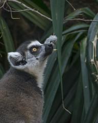 Lemur Snacking (PhillipsVonNoog) Tags: d5300 nikon dslr animal animals tennessee aquarium lemur catta ringtailed ring tailed mammal mammals endangered chattanooga water wildlife biology zoology