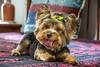 Pandora (75) (zemengao1964) Tags: niterói riodejaneiro brasil dogs cachorro cão yorkshire pet