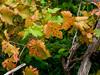 20171031-233 (sulamith.sallmann) Tags: pflanzen basicó blatt blätter botanik italia italien italy messina pflanze plants sizilien weinblätter weinstock it sulamithsallmann