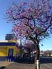 Morphett Street jacarandas, Adelaide (philip.mallis) Tags: adelaide jacaranda tree morphettstreet