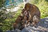Your Turn (RoamingTogether) Tags: 70200vrii barbaryape barbarymacaque europe gibraltar macaque magot nikon nikon7020028 nikond700 rockofgibraltar