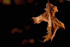 2016 Fall Leaf 55 (DrLensCap) Tags: caldwell woods chicago illinois fall colors il af cook county forest preserve district preserves robert kramer