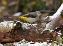grey wagtail snow (1) (Simon Dell Photography) Tags: grey wagtail snow nature simon dell photography wildlife birds winter scene small cottage borrower house bird table one kind bespoke robin torkshire old english
