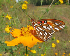 Gulf fritillary in the field of cosmos (Vicki's Nature) Tags: gulffritillary orange spots yellow cosmos wild wildflowers etowahriverpark georgia vickisnature canon s5 9983 butterfly return returnsilver