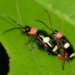 Leaf beetles, Omophoita sp. thumbnail