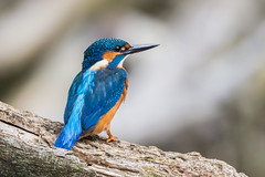 Kingfisher (Alcedo atthis) (Jud's Photography) Tags: nature wildlife animals birds kingfisher alcedoatthis parklimepits walsall gb