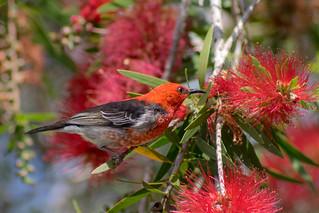 Scarlet Honeyeater, (male)