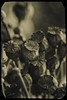 """Les Fleurs du mal""     Charles Baudelaire / Mountain.                                 _DSC0099_v2 (Pascal Rey Photographies) Tags: poppies pavot lesfleursdumal flowersofevil sexdrugsrocknroll hommages nikon d700 luminar digikam digikamusers pascalreyphotographies charlesbaudelaire mountain"