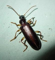 Tenebrionidae, Lagriinae, Lagriini, Statira species