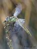 Sympetrum fonscolombii (Fernando Guirado) Tags: alfés lleida macro sympetrumfonscolombii libélula odonata dragonfly odonato nex6 nex 90mmfe 90mm sonyfe90mm sony macrofotografia macrophoto macrophotography macrofoto closeup blur wow flash