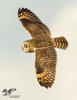 Banking in Evening Light (Short-Eared Owl)
