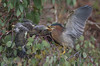 Green Heron feeding chicks (Ken Phenicie Jr.) Tags: greenheron chicks feeding milpitas