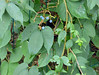 Parthenocissus semicordata (Wall.) Planch. 1887 (VITACEAE). (helicongus) Tags: parthenocissussemicordata parthenocissus vitaceae jardínbotánicodeiturraran spain
