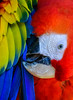 Delicate Preening (FotoGrazio) Tags: animals macaw scarletmacaw waynegrazio waynesgrazio animal art beak bird birds cleaning closeup color colorful colors composition delicate eye feathers fotograzio largebird largeparrot nature parrot precision preening texture wildlife wings