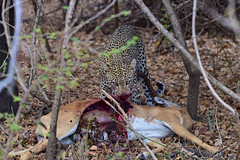 African Safari. It is not a zoo... (Lena and Igor) Tags: safari travel africa tanzania ruaha nationalpark nature predator cat leopard antelope pray meal lunch dinner woods trees blood liver animals graphic dslr fx nikon d810 sigma 150600