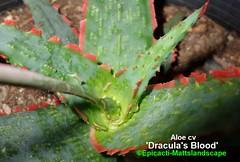 Aloe cv 'Dracula's Blood' (Pic #2) (mattslandscape) Tags: aloe cv hybrid kelly griffin draculas blood succulent succulents succulenta plant red