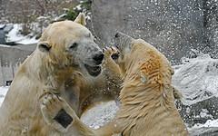 Rangelei bei Wohlfühlwetter (karinrogmann) Tags: zooschönbrunn wien gioco tempodibenesser orsipolari play feelgoodweather polarbears eisbären