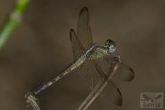 Erythrodiplax umbrata ( BlezSP) Tags: perudragonflies neotropicalodonata libelulas libellulidae madre de dios peru boca pariamanu fauna forever