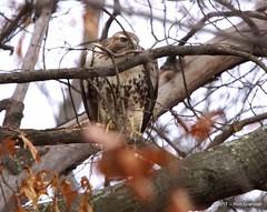 Lurker (robberfly12) Tags: bird pennsylvania raptor predator