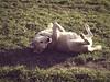 2015-02-26 um 15-45-17 (torstenbehrens) Tags: rücken schuppern hund rüde tarbek schleswigholstein deutschland