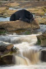 Black Bear At Rest (www.jessfindlay.com) Tags: blackbear ursusamericanus bear slowshutter longexposure vancouverisland britishcolumbia canada jessfindlay jessfindlayphotography wwwjessfindlaycom jessfindlaycom