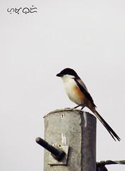 Long-tailed Shrike (A. K. Hombre) Tags: longtailedshrike laniusschach bird aves rufousbackedshrike laniidae passeriformes animal perch