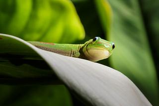 Gecko || Waimea Falls