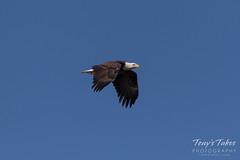 Female Bald Eagle heads upriver