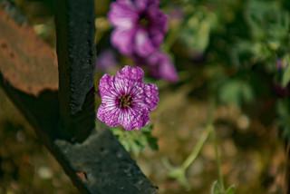 Fleur de prison - Prison flower