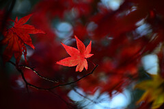 A dream remembered (James_D_Images) Tags: autumn fall foliage leaves red yellow bokeh backlit
