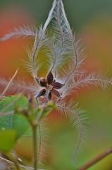 Graphisme végétal - Plant drawing (pablo 2011) Tags: collectionnerlevivantautrement ngc nikonflickraward nikonpassion nikond7000 toulouse nature macro graphismevégétal plant plantdrawing plante patrickblondel