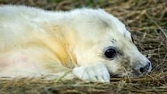 2017-11-13 Donna Nook-4198.jpg (Elf Call) Tags: 120300 beach nikon sigma baby lincolnshire pup d7200 donnanook seal