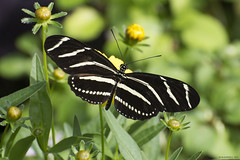 Butterfly 2017-160 (michaelramsdell1967) Tags: flowers beauty color nature macro flower animals bokeh beautiful plant butterfly animal pretty white green insect black vivid garden insects wings photography zebra zen detail vibrant butterflies meadow fragile stripe