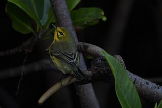 _DSC1635 11/14/17 Prairie Warbler - Snook Islands Lake Worth FL USA