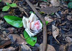 Tarban Creek Asylum 22 (PhillMono) Tags: dslr nikon d7100 sydney new south wales australia history heritage rose flower beauty tarban creek asylum ruin relic abandoned forgotten old empty