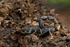 """Careful with that firewood!!!"" (zimbart) Tags: gorongosanationalpark mozambique roadno3 africa fauna arthropoda scorpiones scorpions buthidae parabuthus parabuthustransvaalicus"