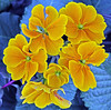 Primula! (georgepulford) Tags: infocus lowcontrast highquality