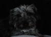 Capturing Hearts (John Neziol) Tags: jrneziolphotography pet dog portrait petphotography petphotographer schnauzer animalphotography animal nikon nikoncamera nikondslr nikond80 lowkey love brantford beautiful closeup cute adorable mammal