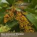 Bay-breasted Warbler, Setophaga castanea
