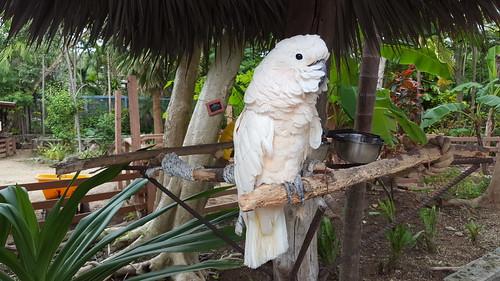 Adorable cockatoo at Ardastra Gardens