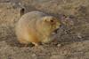 IMG_3488 prairie dog (starc283) Tags: flickr flicker wildlife starc283 prairie outdoors outdoor prairiedog