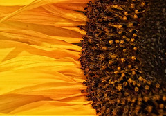 A bit of sun on a winters day (David R Carter) Tags: sun sunflower flower yellow patton petals seeds
