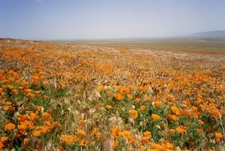 Antelope Valley Poppy Preserve, 1998
