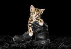Kitten in Boot pet photography. (jasonsulda) Tags: kitten boot black white colour animal photography bw canon 7d mark ii dark backround abigfave