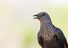 Red-Winged Starling (female) (dunderdan77) Tags: kruger national park south safari nature wildlife outdoor wing beak nikon tamron d500 150600 africa animal