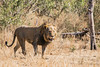 Male Lion (mayekarulhas) Tags: krugerpark mpumalanga southafrica za lion canon wildlife wild carnivores animal africa safari