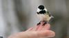 Mésange à tête noire, Québec, Canada - 4062 (rivai56) Tags: mésange à tête noire apprivoisée et dans sa main québec canada sony photographing