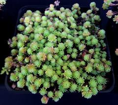 Sedum grisebachii (Nessy apprentie en rangement) Tags: sedum crassulaceae succulent