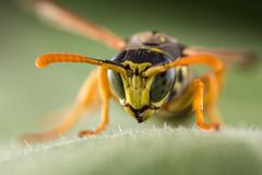 Those Eyes (PhR_Photos) Tags: wasp xenos wespe parasite parasit makro macro mpe65mm mt24ex vesparum ngc